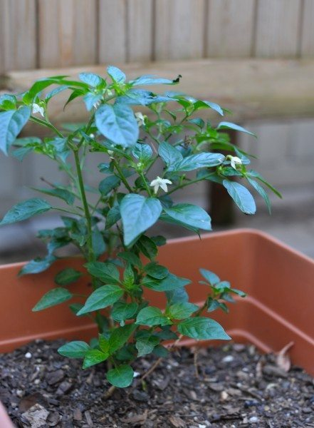 The chili plant that has 9 lives