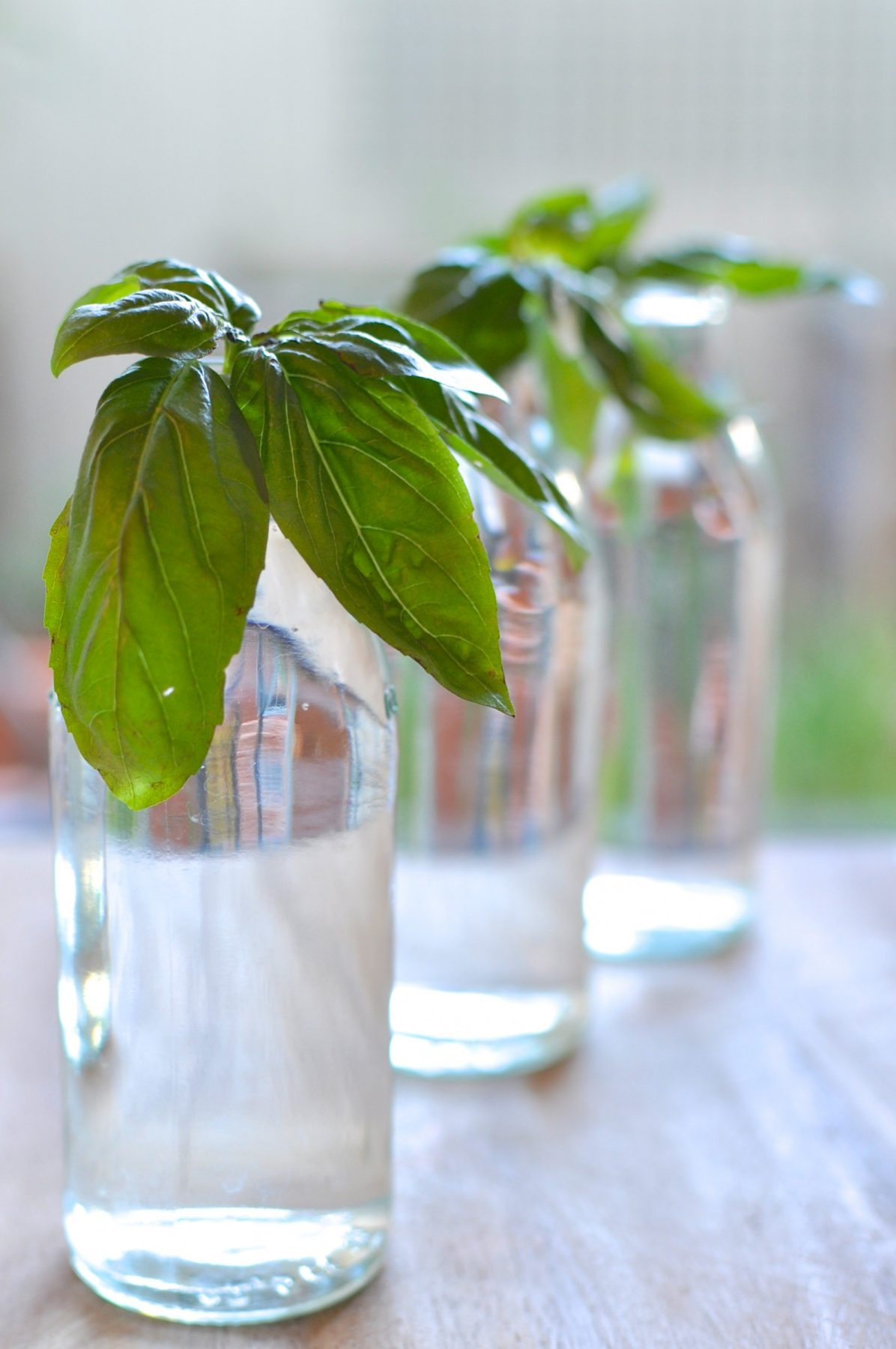 how to grow basil seedlings from cuttings claire k creations. Black Bedroom Furniture Sets. Home Design Ideas