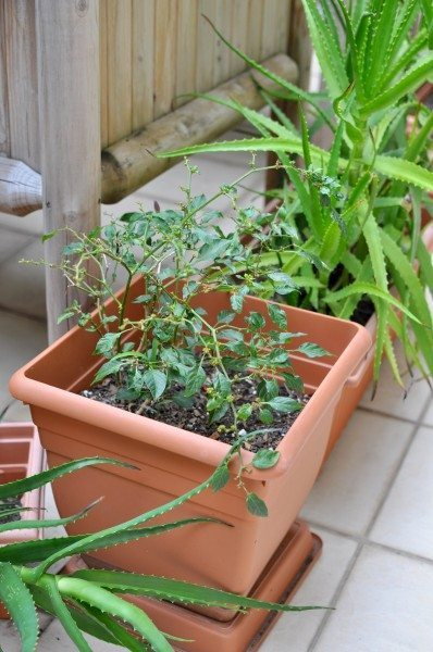 Mini chilis and a natural way to keep possums away